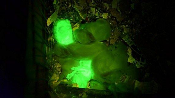 Leuchtende Langohren: Forscher züchten fluoreszierende Kaninchen