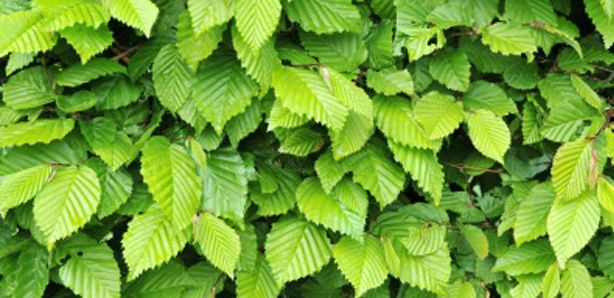 Hornbeam Hedging Plants for sale online