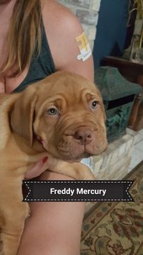 Litter of 9 Dogue de Bordeaux puppies for sale in ARLINGTON, TX. ADN-38672 on PuppyFinder.com Gender: Male. Age: 10 Weeks Old