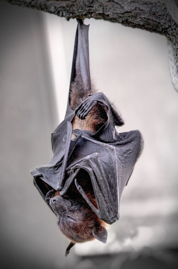 Little Dracula waiting for midnight to come ;) Megabats (also called Fruit Bats) are impressive (wingspan of over 1m!) animals.  Sad fact: Fruit bats are a host of the deadly Ebola Virus. A lot of people in Africa became infected by contact with the bats.