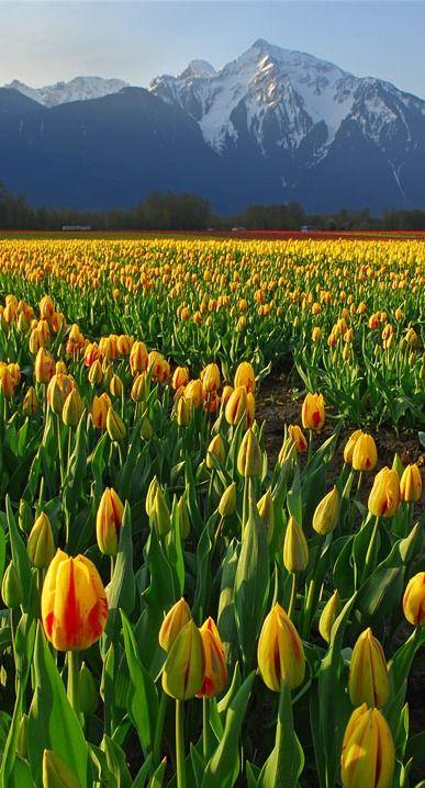 tulip field...