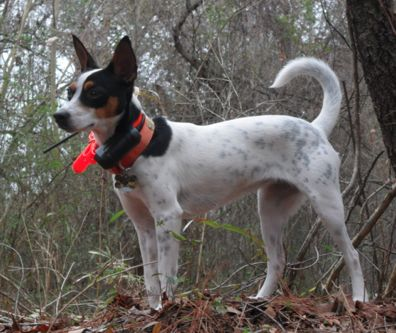 Mountain Feist Dog....our next dog if we can ever find one.  Cant believe Kev likes a small dog. SO CUTE!