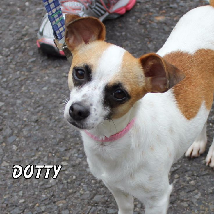 Jack Chi dog for Adoption in Hot Springs Village, AR. ADN-444844 on PuppyFinder.com Gender: Female. Age: Young
