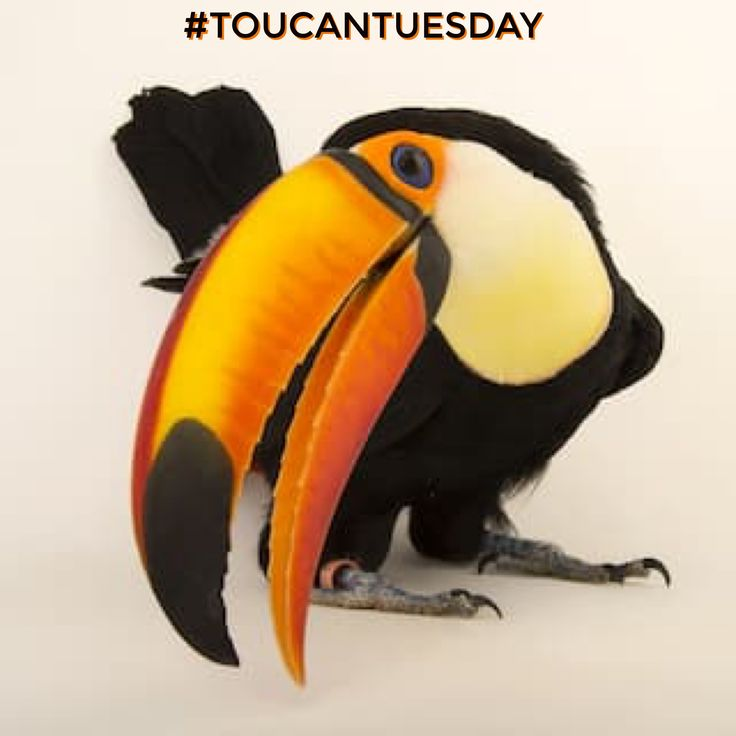 Toucan Tuesday