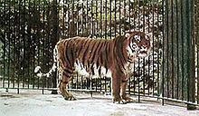 Caspian tiger in colour