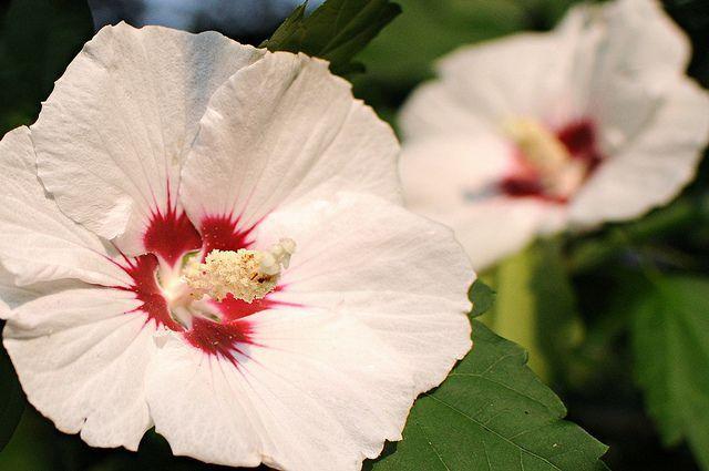 Saiba mais sobre a Mugunghwa (무궁화), também conhecida como Rosa de Sharon, a flor nacional da Coreia, que floresce no início de julho até o final de outubro.