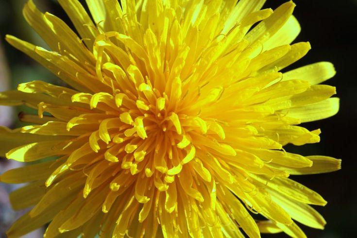 Fiori commestibili: il #tarassaco   #Fiori #commestibili #edible #flowers #rose #rosa #roses #yellow #giallo #pink #white#bianco #gnam #cibo #food #eatflowers #mangiarefiori #flowerpower #iloveflower #amoifiori