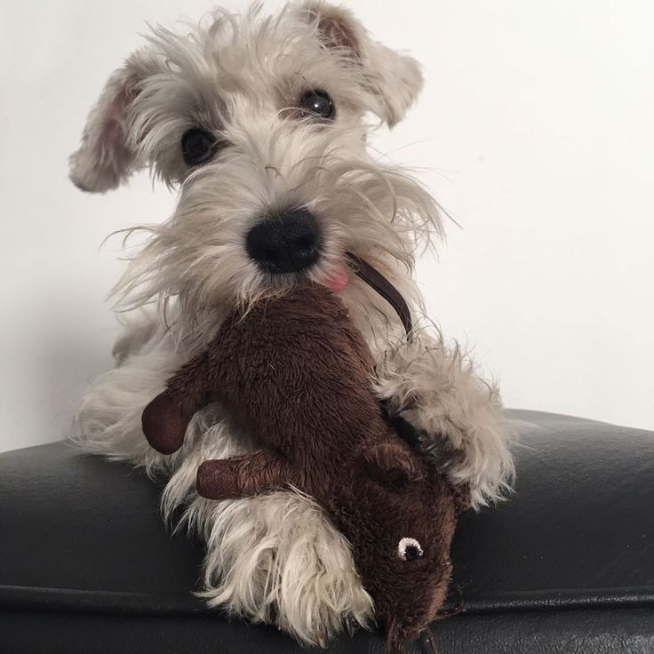 "281 Likes, 14 Comments - ⠀Bᴀʀᴛᴏʟᴏ  ➙ mini schnauzer  (@soy.bartolo) on Instagram: ""I love my mouse! We're friends even if you won't believe it! ❤️ Slide to see more pictures ➡️ .…"""