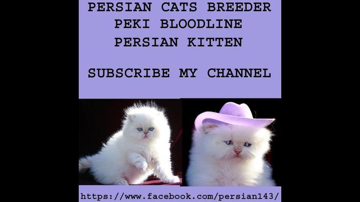 Peki Bloodline Beautiful Kitten Must Watch Persian Cat Breeders Cat Breeder Beautiful Kittens
