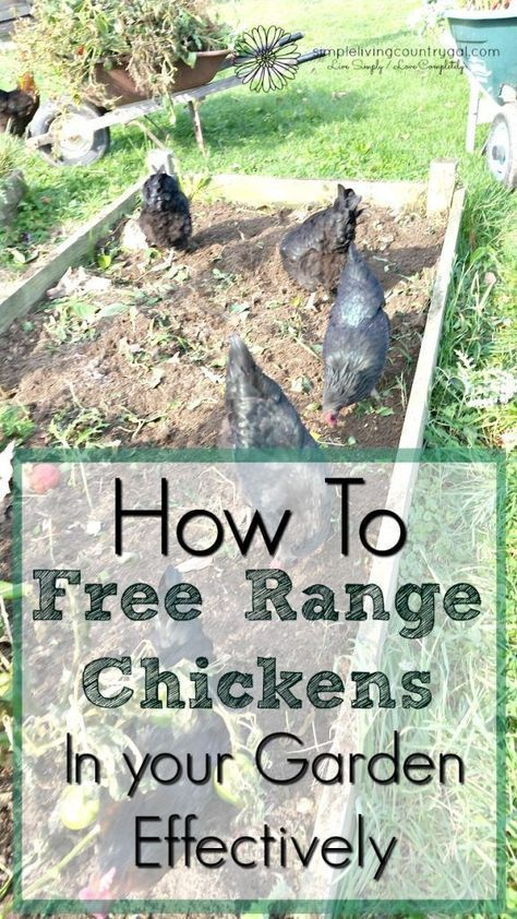 Tips on how to free range chickens in your garden with success. Not only is it easy but can benefit you as well!