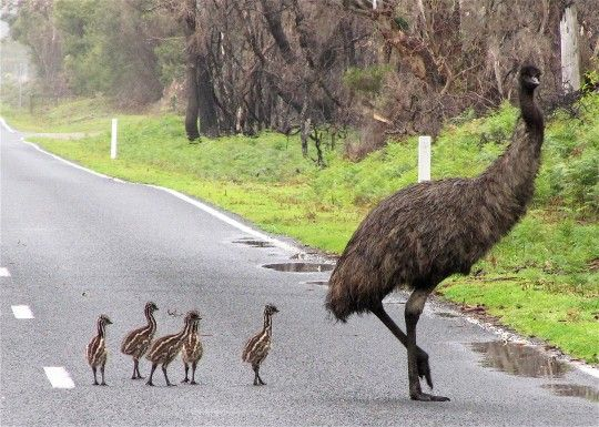 Emu and her chicks.  It is the largest bird native to Australia. The largest can reach up to 1.9m in height. The mother lays the eggs and then leaves to find another mate and lay more eggs. The father rears the young and is a single parent.