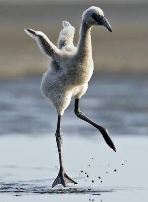 Flamingo chick.: Animal Pics, Animal Baby, Animal Kingdom, Flamingos Chick, Animal Flamingos, Baby Animal, Baby Birds, Baby Flamingos, Adorable Animal
