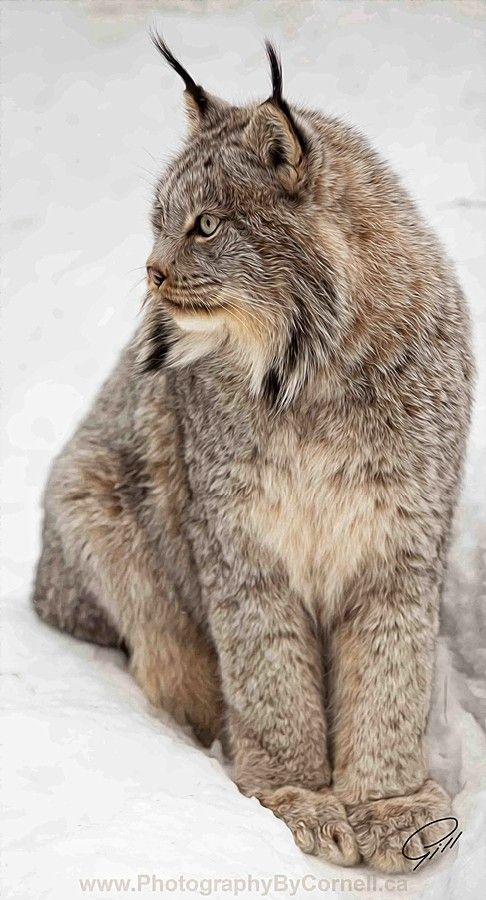 Siberian Lynxes, I played with one of these when I was at the zoo in Colorado - awesome!