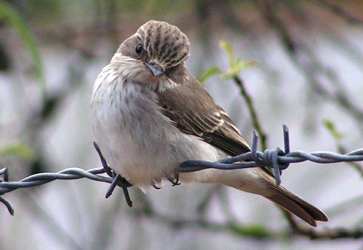 Wenn Vögel vom Himmel fallen (Foto ( Jürgensen ) :  Grauschnäpper als gefährdeter Zugvogel)