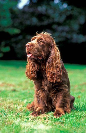 Dog breeds Sussex Spaniel