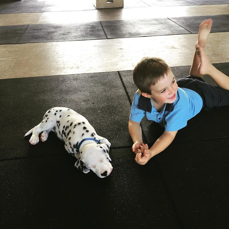 Beau the Dally from Gloucester NSW   Via @lauraaharris_ #DalmatianNation by dalmatiannation #lacyandpaws