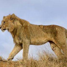 Survival of the fittest - injured lion in Madikwe Game reserve South Africa