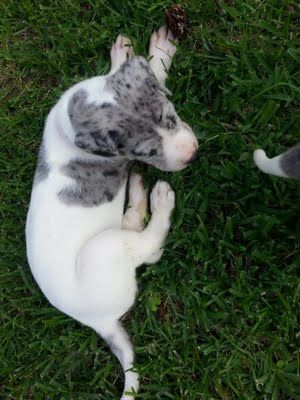 Great Dane Puppy for sale! $800 Click the image to visit our site! Hughes Pup Hut!