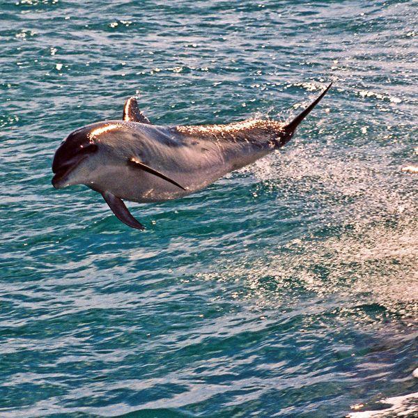 Flying Dolphin by carterr.deviantart.com on @deviantART