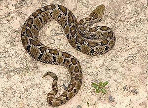 Crótalo o Serpiente de Cascabel