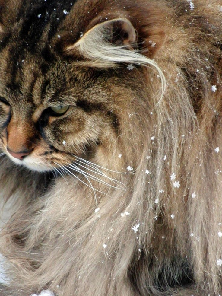 Norwegian Forest Cats ARE TYPICALLY 5 lbs. HEAVIER THAN MAINE COON CATS....