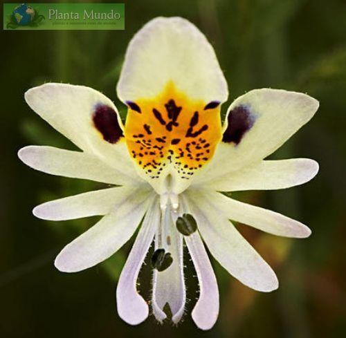 Borboletinha - Schizanthus pinnatus - Planta Mundo