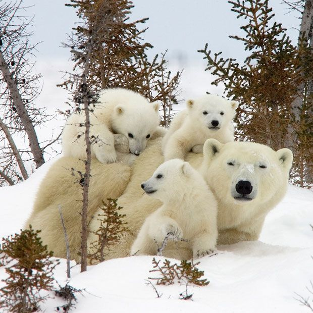 Three polar bear cubs  demand their mum's attention  as they clamber over her at Wapusk National Park near Manitoba, Canada