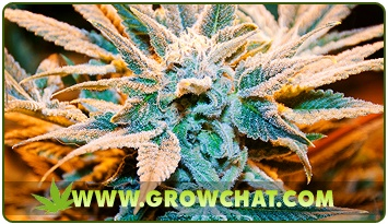 Introducing the chemical substances present in marijuana plants  http://www.growchat.com/introducing-the-chemical-substances-present-in-marijuana-plants