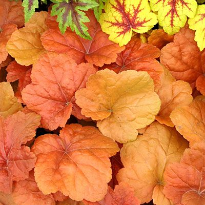 Heuchera  These garden workhorses thrive in light shade (full sun in cooler climates).    They send up slender, wiry stems of tiny bell-shaped, pink or white blooms. But it's the scalloped or lobed leaves we love most; they come in delicious shades of cool lime, plum, chocolate, and more.