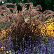 Tender or Crimson Fountain Grass