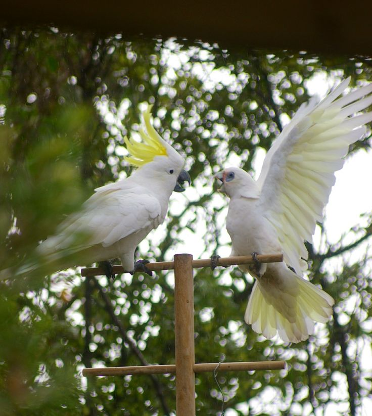 Visitors to my garden 8. Sulphur Crested Cockatoo vs Corella. My money's on the cocky