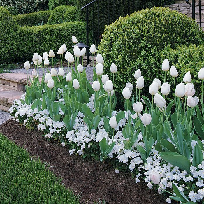 Mass plantings of white tulips and white pansies, more planting of the