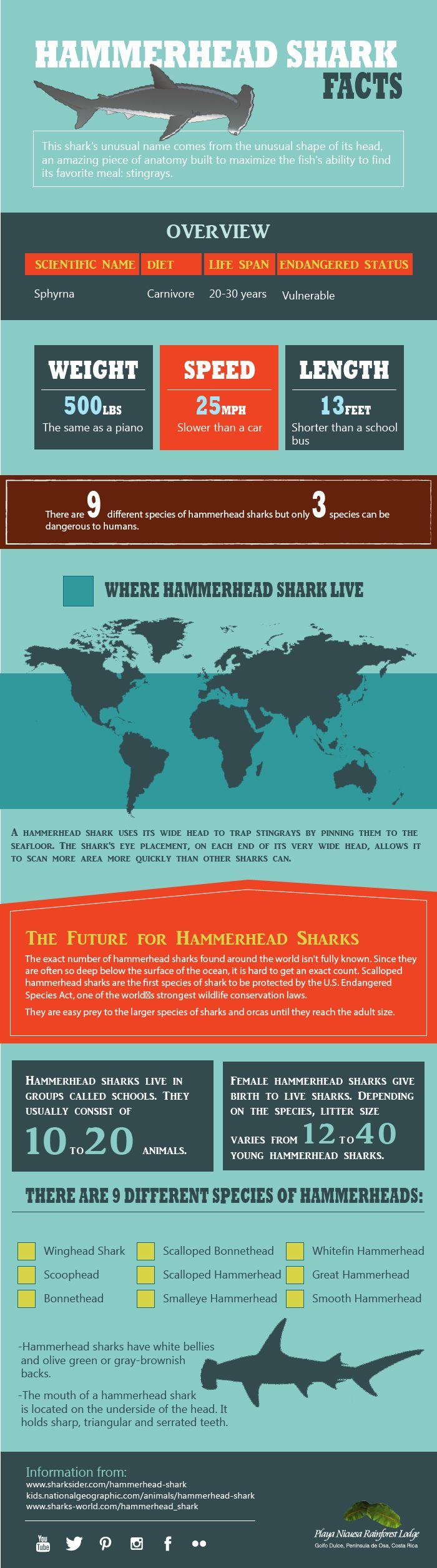 Hammerhead-Shark  #hammerheads #Sharks #SustainableTravel #CostaRica #CocosIsland