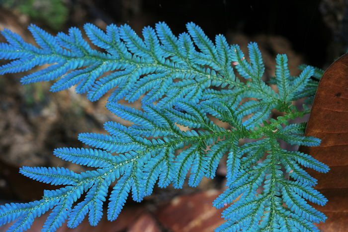 Peacock fern (Selaginella wildenowii)
