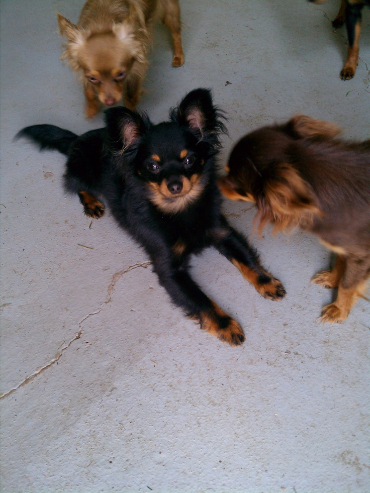 Russian Toy Terrier long haired! I WANT IT, IT'S RUSSIAN.