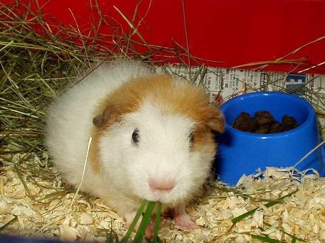 guinea pigs for sale at petsmart Zoe Fans Blog Cute