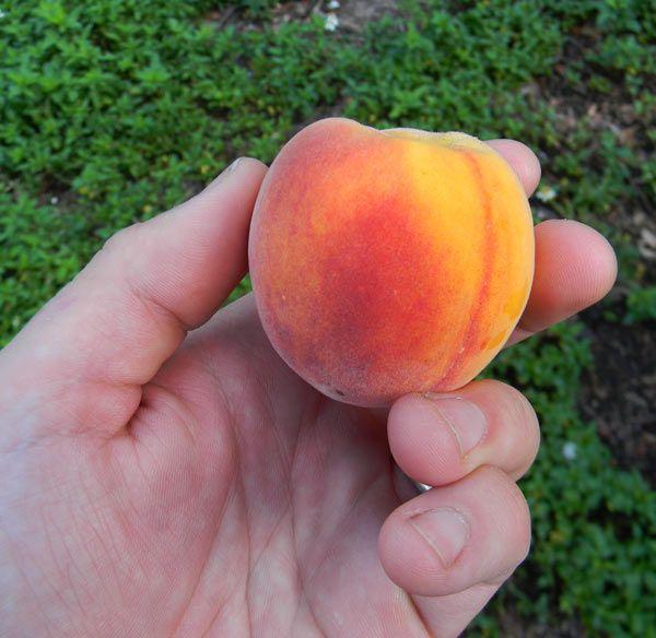 Árboles frutales de crecimiento rápido!!