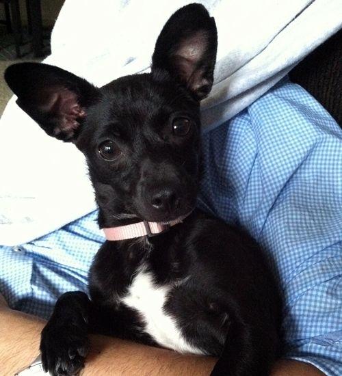 black lab chihuahua mix puppies | Josefina - Dachshund | Humane Society of Dallas County