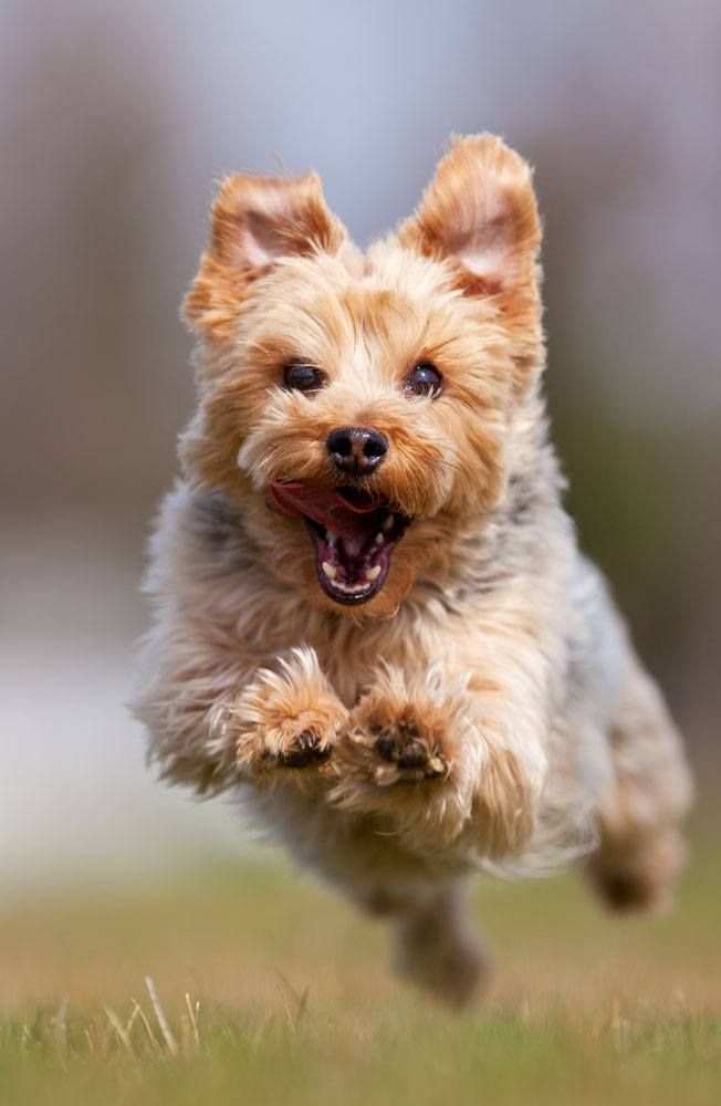 Yorkie Names Cute Male Female Yorkshire Terrier