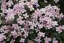 clematis montana rubens - Google zoeken