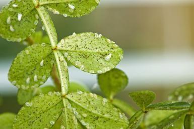 Elimina las plagas de tus plantas: Moscas blancas