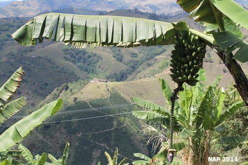 Una planta de Plátano verde en medio de las montañas de Paisaje cultural cafetero #Colombia #Paisajeculturalcafetero #viaje #platano #veggie