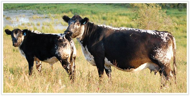 "Balanced Breed with A Color Bonus."" The colour patterns of Speckle Park are distinctive and certainly catch one's eye. Their merits as beef cattle will ensure their sustainability as a distinct breed."