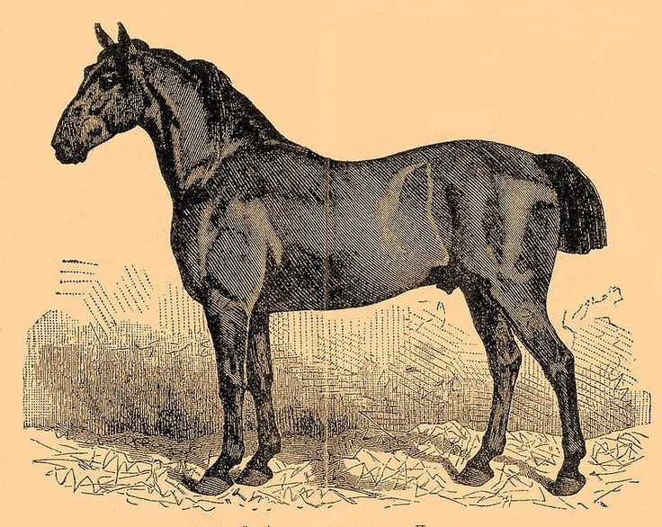 Anglo-Norman horse. he Anglo-Norman was a warmblood breed from the old Normandy province in northern France. Today the breed is extinct, however their bloodlines live on in a variety of modern French breeds including the Selle Français. More in http://www.theequinest.com/breeds/anglo-norman/