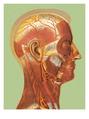 Human Head Muscle Anatomy Posters at AllPosters.com