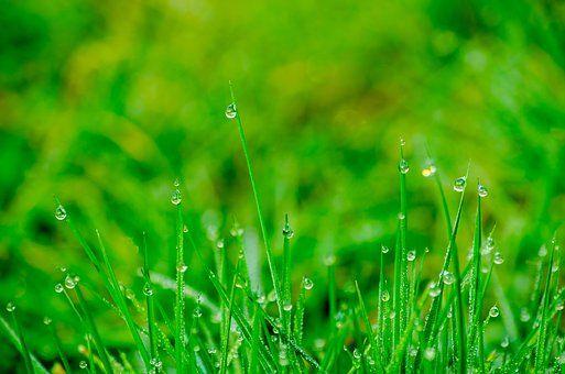 Grass, Rush, Prado, Gotejamento
