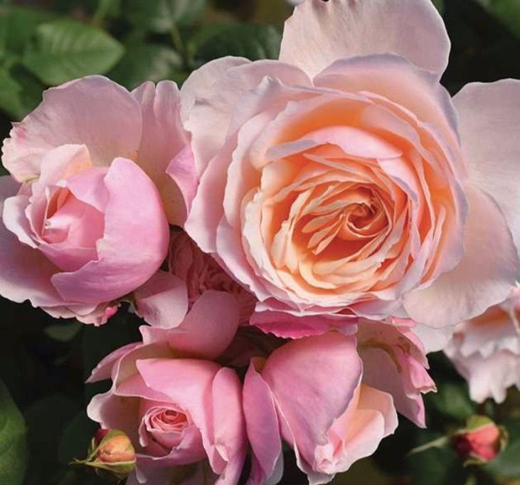 Moonlight In Paris Six Years Ago I Wrote With Enthusiasm About Clean N Easy Roses Saying How Marvellous They Are Shrub Roses Simple Rose Hybrid Tea Roses