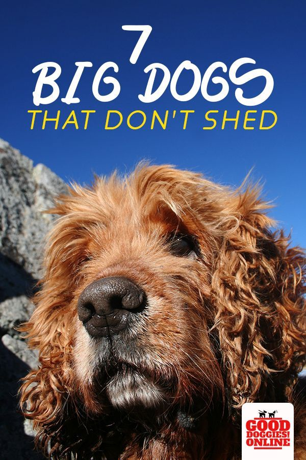 Large Dog Breeds That Don T Shed 7 Non Shedding Dogs Good