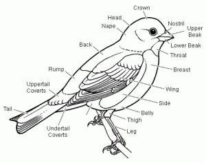 159 best all about birds images on pinterest | backyard ... migratory bird diagram