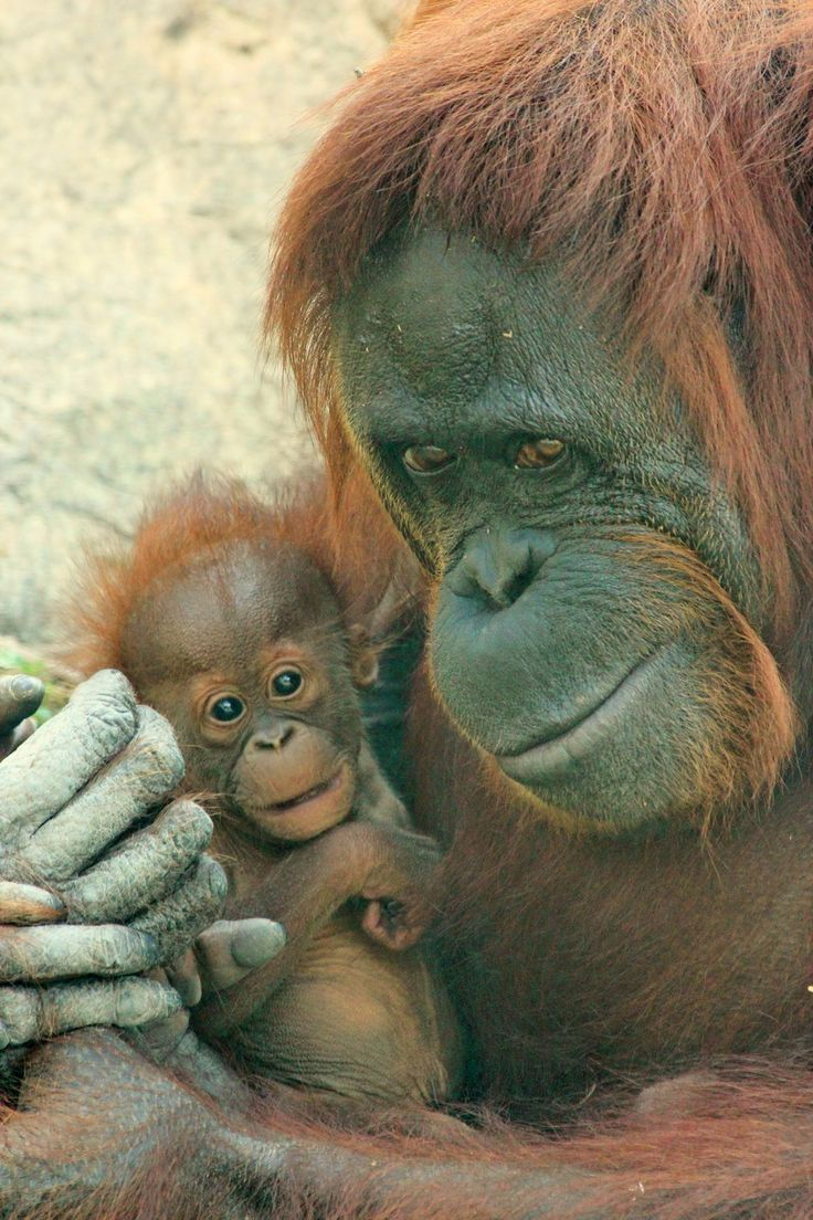 17 Best Ideas About Sumatran Orangutan On Pinterest Baby
